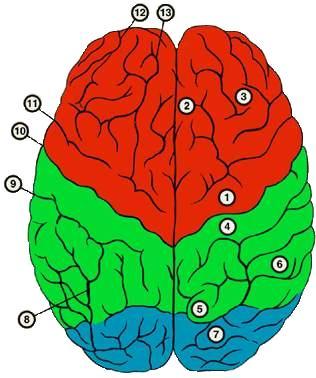 Как еще называют первичные зоны головного мозга